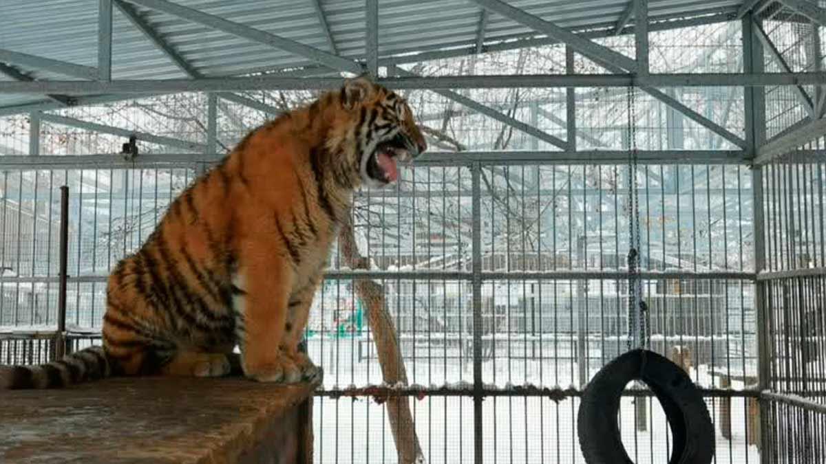 tigre-canta-141446